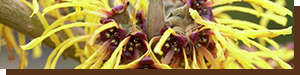 ingredient-hamamelis